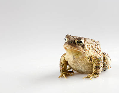 Fat Toad Poster by John Crothers