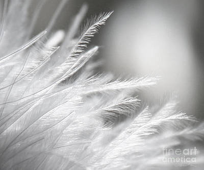 Feathery White Poster by Danuta Bennett