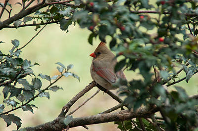 Female Cardinal Poster by Ron Smith