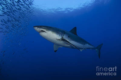 Female Great White With Remora Poster