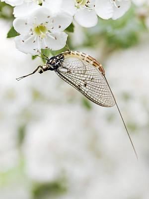 Female Mayfly Poster by Adrian Bicker