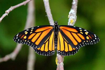 Female Monarch Poster