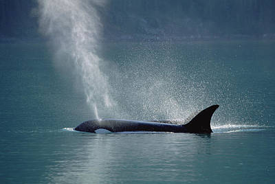 Female Orca Spouting Alaska Poster
