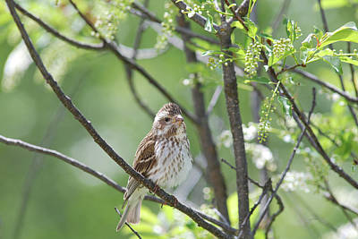 Female Purple Finch Poster