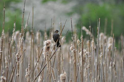 Female Redwinged Blackbird Poster by Bill Cannon