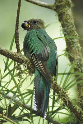 Female Resplendent Quetzal Pharomachrus Poster by Steve Winter