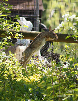 Fence Jumping Rabbit Poster