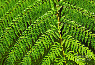 Fern Fronds Poster by Carlos Caetano