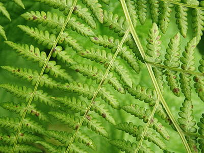 Poster featuring the photograph Fern Green by Cheryl Perin