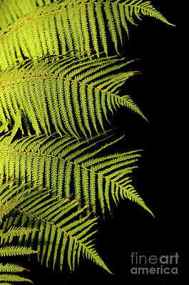 Fern Palm Poster by Bob Christopher