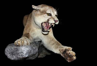 Ferocious Puma Poster by Kristin Elmquist
