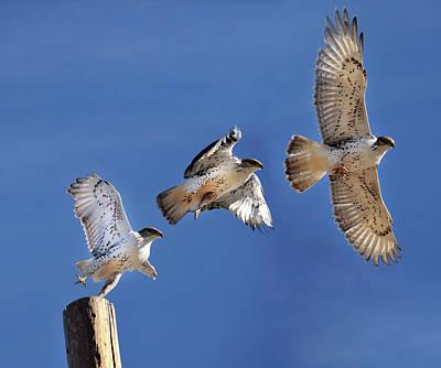 Ferruginous Hawk In Flight Poster