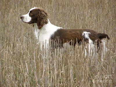 Field Bred Springer Spaniel Poster