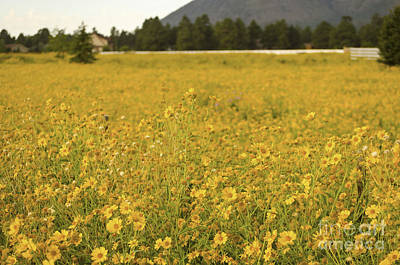 Field Of Yellow Daisy's Poster