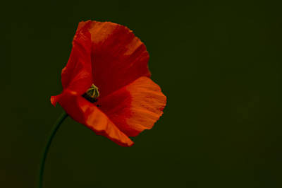 Poster featuring the photograph Field Poppy by Rob Hemphill