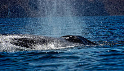 Poster featuring the photograph Fin Whale Spouting by Don Schwartz