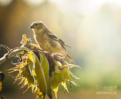 Poster featuring the photograph Finch Aglow by Cheryl Baxter