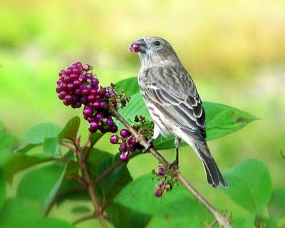 Finch Eating Beautyberry Poster by Peg Urban