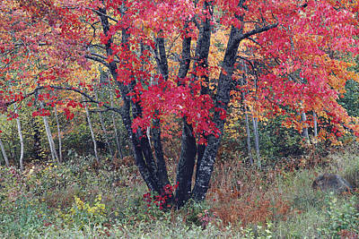 Flaming Autumn Maple Poster