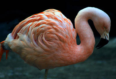 Poster featuring the photograph Flamingo by Tammy Espino