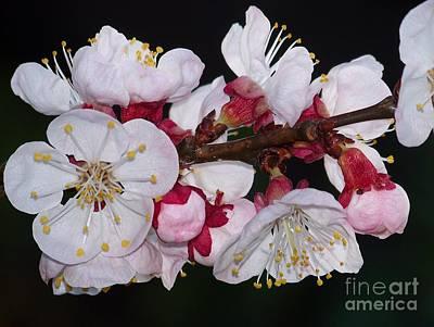 Fleurs D'abricotier Poster by Sylvie Leandre