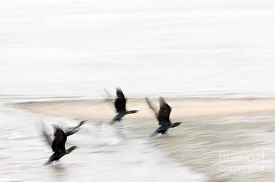 Flight Of The Cormorants Poster