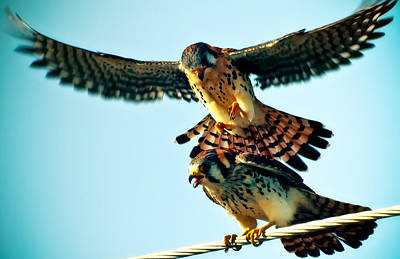 Flight Of The Hawk Poster