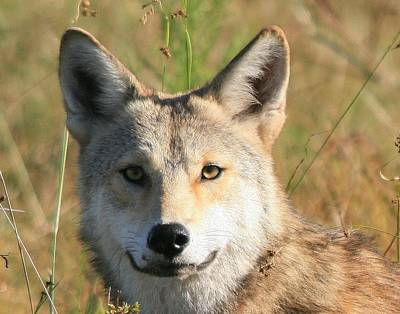 Florida Coyote Portrait  Poster