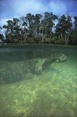 Florida Manatee, Crystal River, Florida Poster by Joe Stancampiano