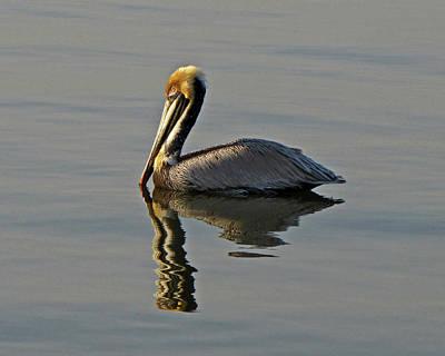 Florida Pelican Poster