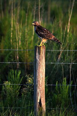 Florida Red-shouldered Hawk Poster