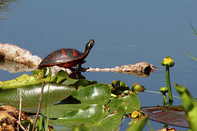 Florida Redbelly Turtle Poster by Peg Urban