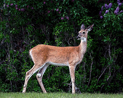 Poster featuring the photograph Flower Deer by Steve McKinzie
