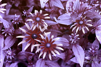 Flower Rudbeckia Fulgida In Uv Light Poster by Ted Kinsman