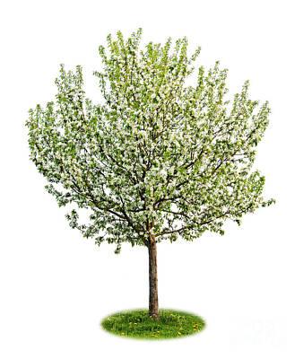 Flowering Apple Tree Poster