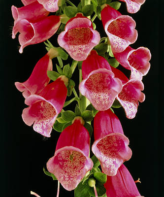 Flowers Of The Foxglove, Digitalis Poster by Michael Marten