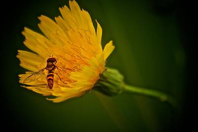 Fly On A Flower Poster