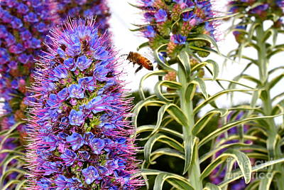 Flying Bee On Purple Pride Of Madeira Flowers . 7d14839 Poster