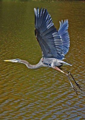 Flying Blue Heron Poster