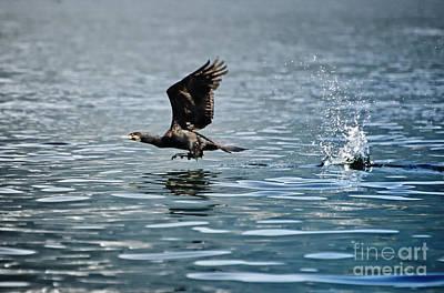 Flying Cormorant Bird Poster by Mats Silvan
