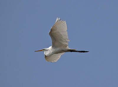 Flying Egret Poster by Jeannette Hunt
