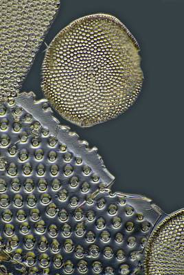 Fossil Diatoms, Light Micrograph Poster by Frank Fox