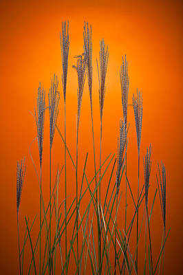 Fountain Grass In Orange Poster by Steve Gadomski