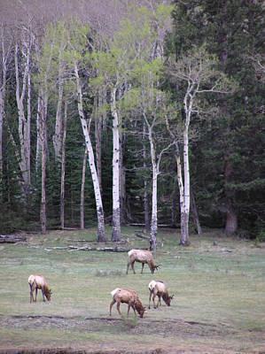 Four Elk   Four Aspen Poster