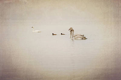 Four Swan Swimming Poster by Blue Mountain Images