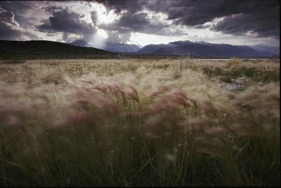 Foxtail Barley Waves In The Wind Poster by Phil Schermeister