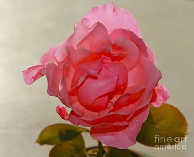 Fragile Pink Rose Poster