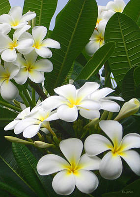 Poster featuring the photograph Fragrant White Plumeria by Kerri Ligatich