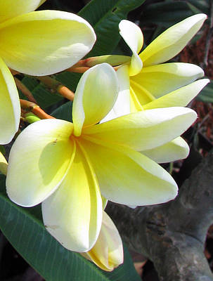 Poster featuring the photograph Frangipani Up Close by Debi Singer