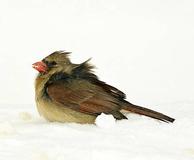 Freezing Cardinal Poster by Trudy Wilkerson